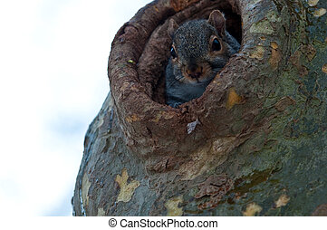 squirrel looks out of the hollow - The squirrel early in the...