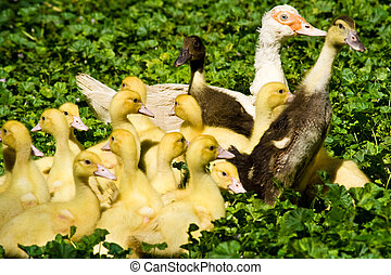 ducklings - muscovy duck with ducklings