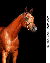 portrait of bay arabian filly at black background