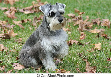 Posing Pet - Miniature schnauzer dog.