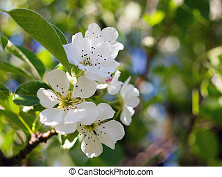Flowering pear - A branch of pear blossoms in spring