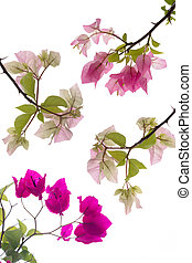 Bougainvillea isolate - Bougainvillea, Paper flower...