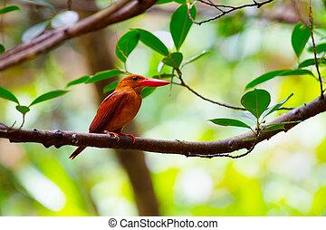 Ruddy Kingfisher-Halcyon coromanda bangsi
