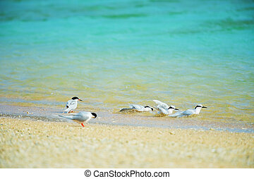 Black-naped Tern and Roseate Tern. This image was taken in...