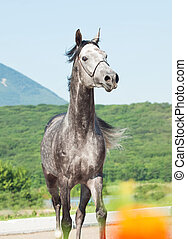 Running gray arabian stallion