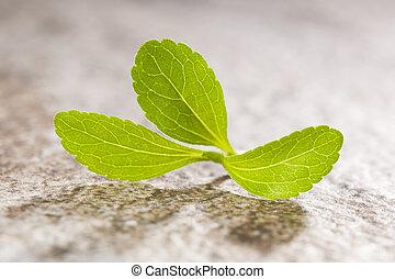 Stevia sweetleef - Stevia sweetleaf isolated on stone...