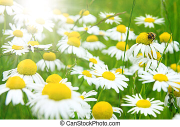 Camomile flowers on wide field - Many camomile flowers on...