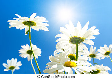Camomile flowers in sun rays on blue sky
