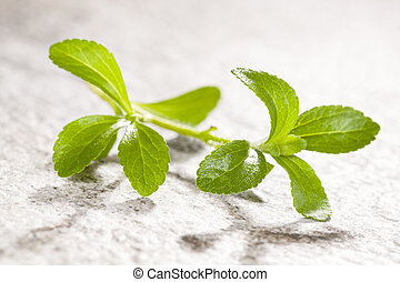Stevia, sugarleaf isoalted. - Stevia, sugarleaf isolated on...