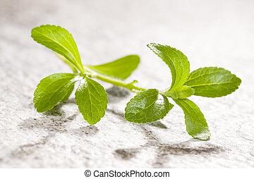 Stevia, sugarleaf isoalted. - Stevia, sugarleaf isolated on...
