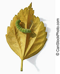Caterpillar on yellow leaf of Red Hibiscus, rosa-sinensis