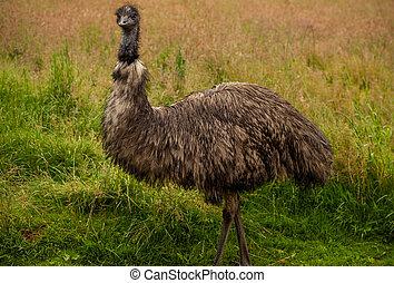 EMU, pájaro, Lleno, retrato
