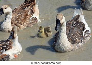 Mothers Goose - Several adult geese surround a lone gosling.