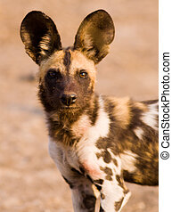 African Wild Dog - Close up image of an African Wild Dog