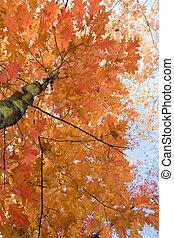 oak in fall