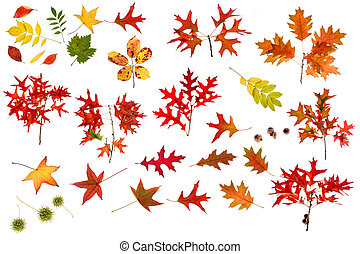 big autumn leaves collection - many leaves, branches and...