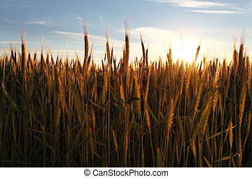 Wheat field at summer