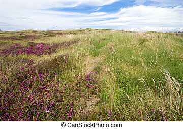 wild island heather - heather landscape, Ouessant island,...