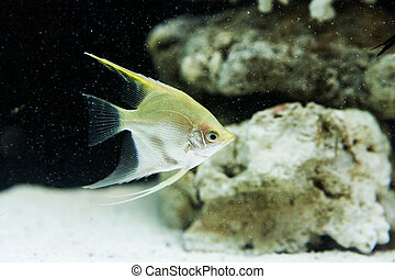Angelfish Pterophyllum scalare in the fish tank