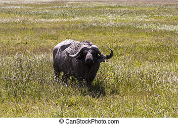 Cape Buffalo - Cape buffalo close up in Africa