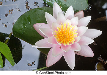pink waterlily candidissima rosea - pink waterlily in a...