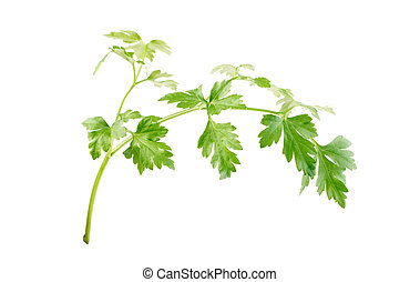parsley leaf - single parsley leaf isolated on white...