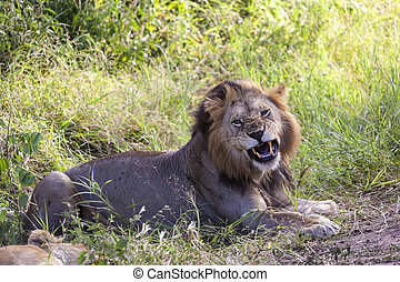 Roaring Lion - Roaring lion close up in Tanzania