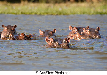 Hippos resting in the safety of a Naivasha lake - Pod of six...