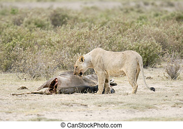 Lioness feed on the gnu spoils - Lioness (Pathera leo...