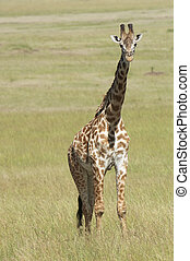 Masai Giraffe, also known as the Kilimanjaro Giraffe -...