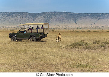tourists watching male lion while he crossing the road just few steps from behind of their car