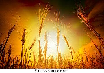 Wheat field under cloudscape - Wheat field under blue sky...