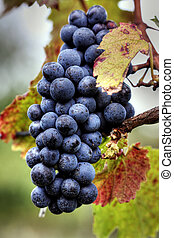 Pink wine grape cluster with leaves at an orchard