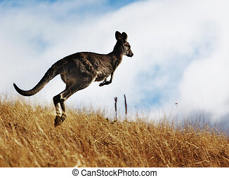 Kangaroo - Australian Kangaroo, roaming free in the outback...