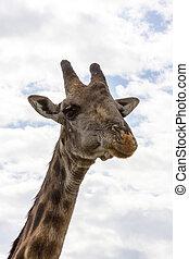 Portrait Of A Giraffe - Head of a giraffe close up in Africa