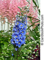 Blue delphinium flowers - Beautiful blue delphinium flowers...