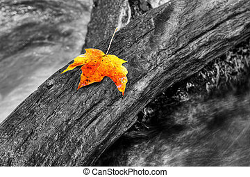 maple leaf - An orange maple leaf in a stream in autumn