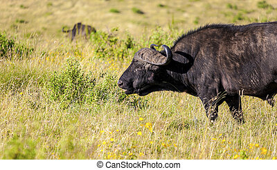 Cape Buffalo - Grazing cape buffalo close up