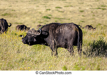 Cape Buffalo - Cape buffalo in Tanzania close up