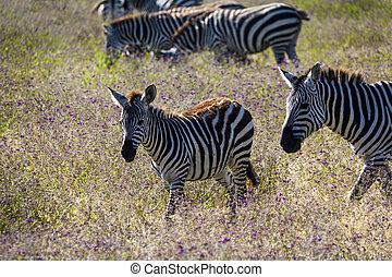 Baby Zebra - Baby zebra among adults grazing in Serengeti...