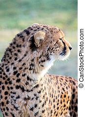 cheetah - Closeup of a cheetah
