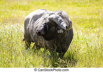 Cape Buffalo - African buffalo close up