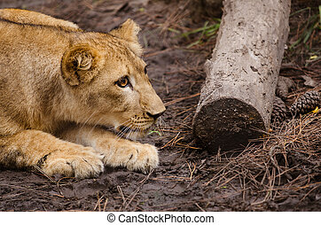 African lion cub stalking - Portrait of African lion cub...