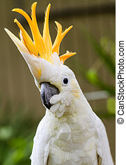 Sulphur Crested Cockatoo - Portrait of Sulphur Crested...