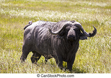 Cape Buffalo - Cape buffalo in the wilderness of Tanzania