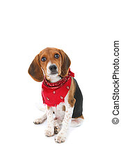Beagle - a Beagle puppy isolated on white wears a red...
