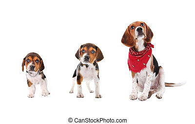 Beagle puppy growth stages - A Beagle puppy in three stages...