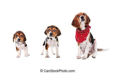 beagle, Filhote cachorro, crescimento, fases