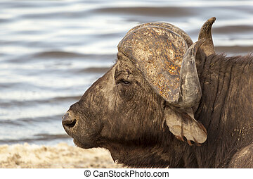 Cape Buffalo - Cape buffalo by the water