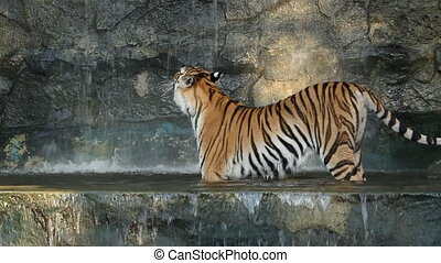 BigTiger in the waterfall